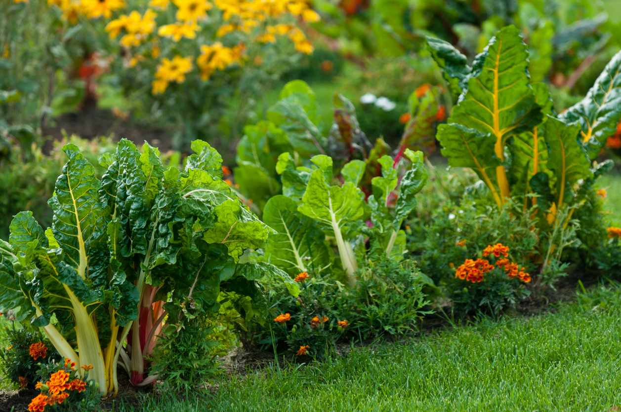 A closeup of a healthy lawn garden planted with Swiss chards, bright orange and yellow flowers.